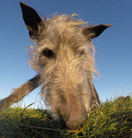 Low angle view with a wide angle lens, of an attentive elderly Scottish Deerhound searching the ground for goodies.