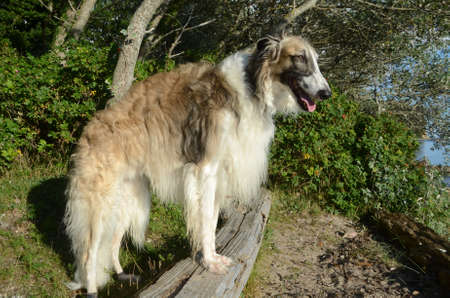 Full body side view of brindle borzoi dog standing in natural ambients.