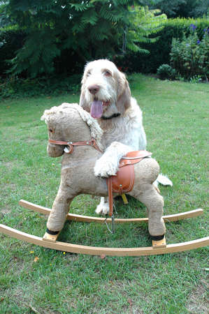 Spinone dog sits behind a rocking horse.