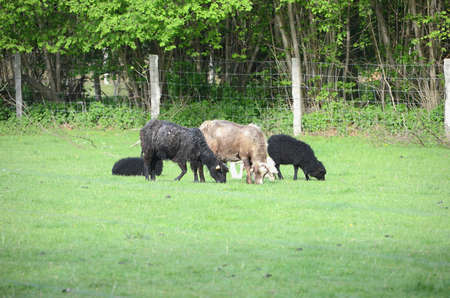 Black and white sheep in a meadow.