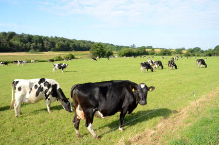 Danish Black-and-white cattle grazing on a field in a sloped landscape. Stockfoto - 156431080