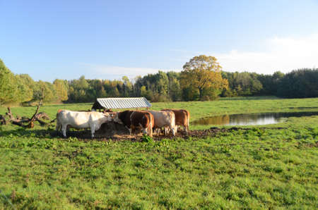 Cattle in a grass field eating from hayrack.