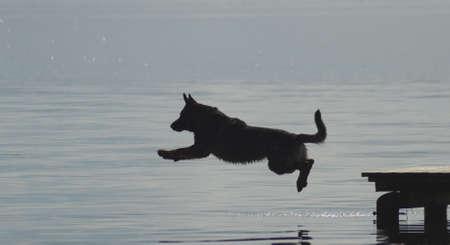 German Shepherd dog jumps into the water.