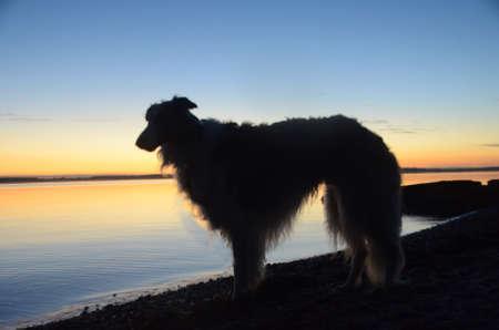 Borzoi silhouette at the evening sea Stockfoto