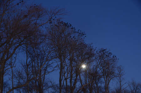 Crows in trees at full moon Stockfoto - 159941782