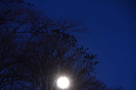 Crows in trees at full moon