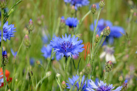 View into a field with flowers sn several colors, but with focus on a blue cornflower