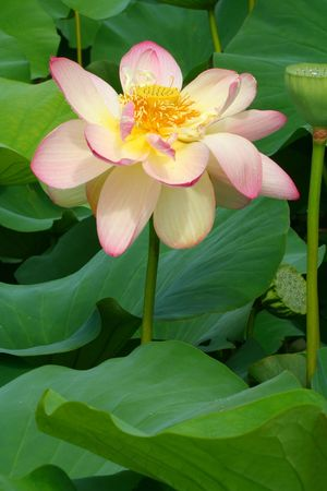 nymphaeaceae: Lotus with Raindrops Stock Photo
