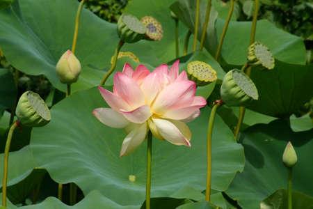 lotus seed: Asian Lotus Stock Photo
