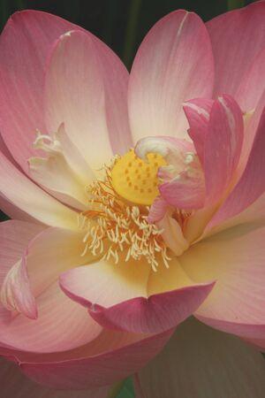 summon: Beckoning Lotus Stock Photo