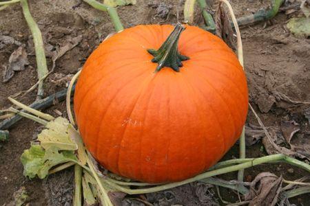 Pumpkin on the Vine photo