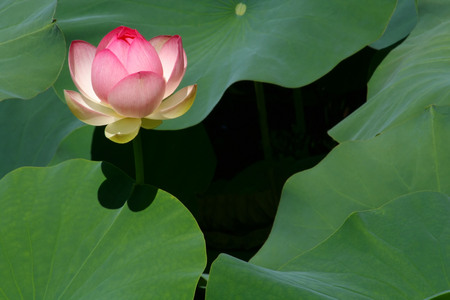 Birth of a Lotus Blossom Фото со стока