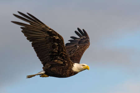 eagle flying: Bald eagle Stock Photo