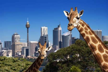 Dos jirafas en zoológico de Taronga delante de skyline