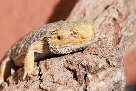 desert lizard: Lizard in the desert enjoying the sun