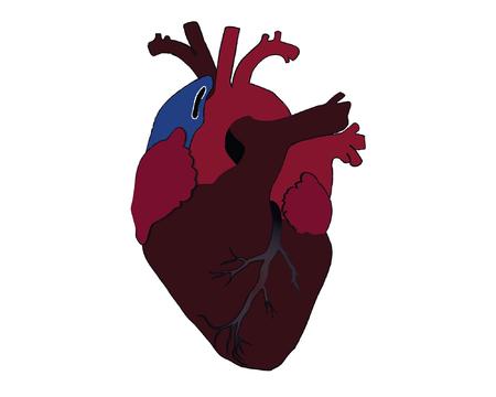 capillaries: Heart  Illustration