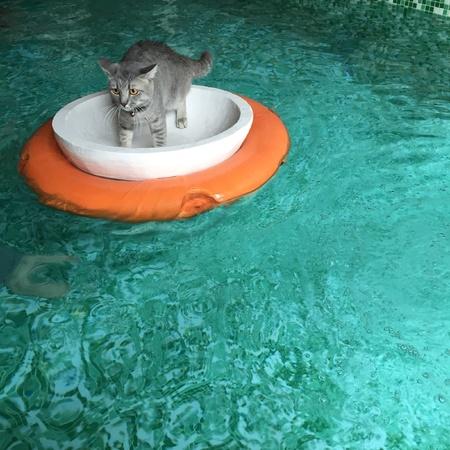 aqua: British shorthair cat floating in pool Stock Photo