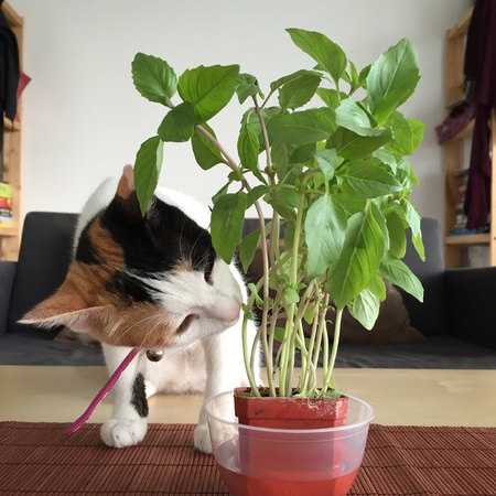 sniff: Cat sniffing basil plant