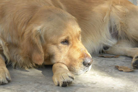 Golden retriever relax on the autmn sun Stock Photo