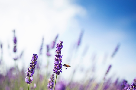 Shot of a lavender field with a bee in sunlight. Stock fotó - 105148430