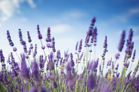 Shot of lavender field in sunlight