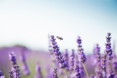Shot of a lavender field with a bee in sunlight. Imagens