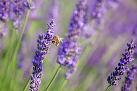 Shot of lavender field with a bee in sunlight
