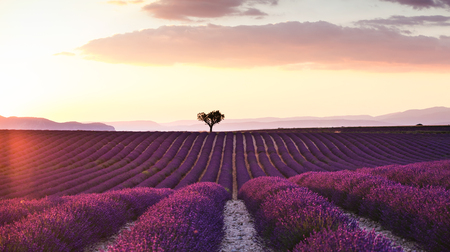Shot of beautiful landscape of lavender fields at sunset with dramatic sky