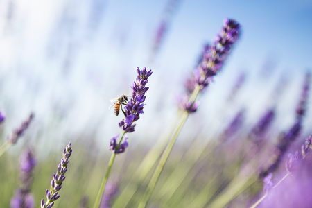 Shot of a lavender field with a bee in sunlight. Stock Photo