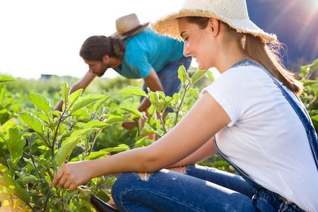 Foto de pareja joven horticultor cosechando verduras frescas en el jardín.
