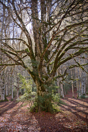 Autumn trees in Ordesa National Park, Pyrenees, Huesca, Aragon, Spain 版權商用圖片
