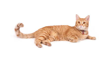 thai yellow cat isolated on white background
