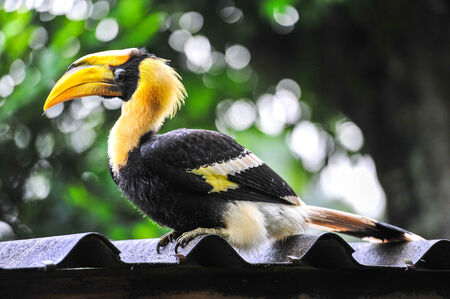 largest tree: Great hornbilll on the Roof