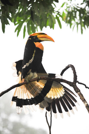 strikingly: A Great Pied hornbill sits on a branch, hala-bala Thailand