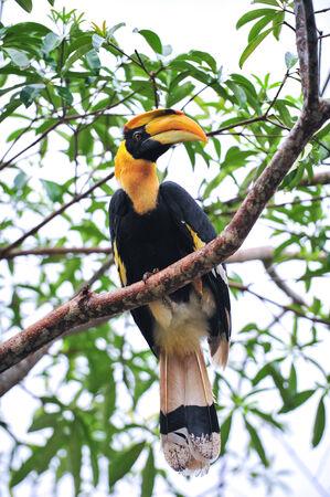 strikingly: A Great Pied hornbill sits on a branch, hala-bala Thailand