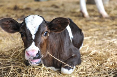 Black and white spotted young cow calf in hay