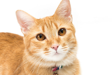 brown  eyed: portrait thai yellow cat Brown eyed Expressive look   isolated on white