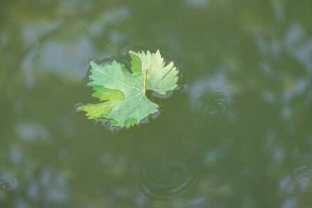single Green Grape Leaf on water close up photo