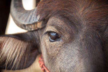 Colse up eye Dairy buffalo looking at the camera Фото со стока