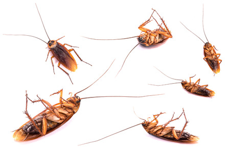 Group of dead cockroach isolated on a white background.