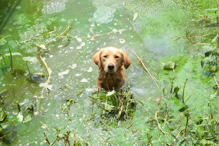 Golden retriever in wastewater pond looking at camera. Stock Photo