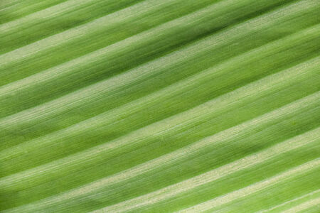 Texture background of backlight fresh green Leaf photo