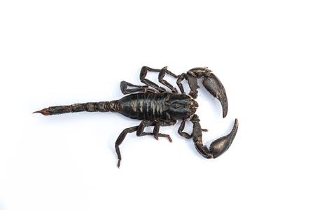 subdue: black scorpion on white background Stock Photo