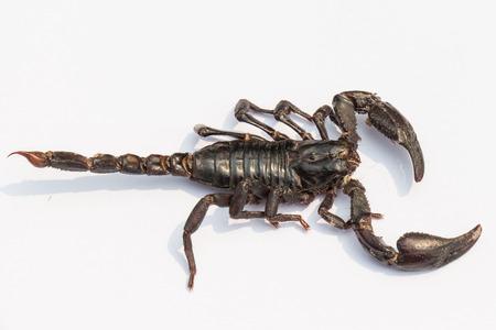 black scorpion on white background photo