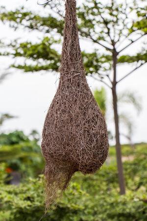 weaver bird nest: Weaverbird nest at a branch of the tree