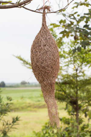 weaver bird nest: Weaverbird nest at a branch of the tree