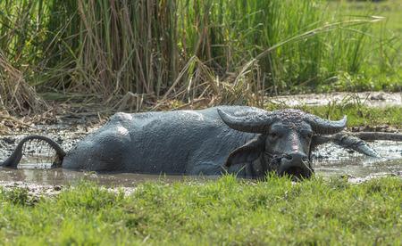 mire: Thailand Buffalo dip in the mire