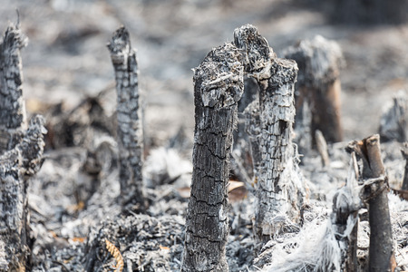 burning bush: Dead trees after the fires
