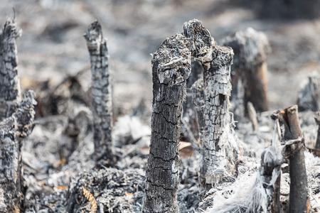 arboles secos: �rboles muertos despu�s de los incendios