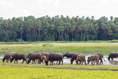 buffalo grass: Thailand buffalo eating grass along the marshes.